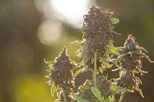 Cultivos de marihuana legal